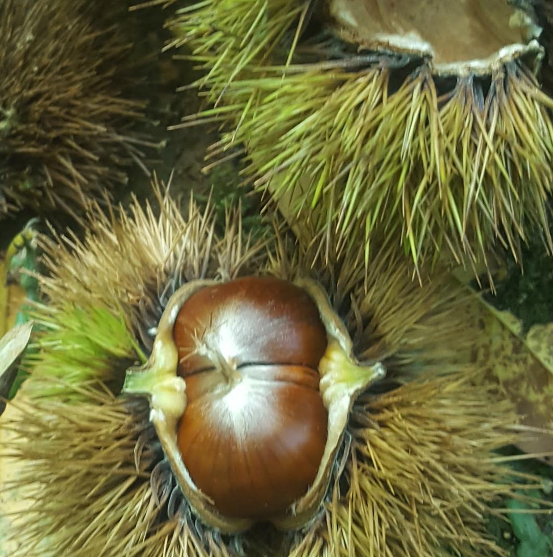 chestnut2